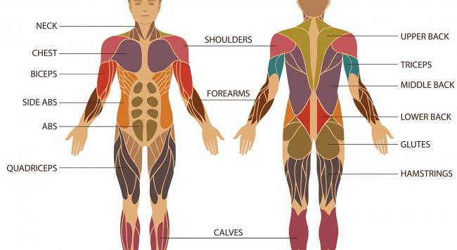 body muscle groups